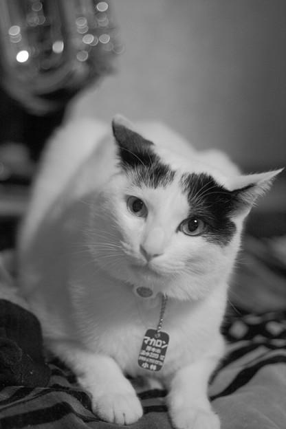 写真: 真面目なうし柄猫