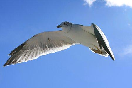 2010.10.29 浄土ヶ浜 島めぐり ウミネコ 飛翔