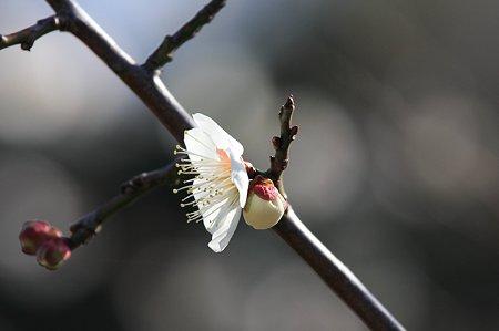 2011.02.25 和泉川 梅