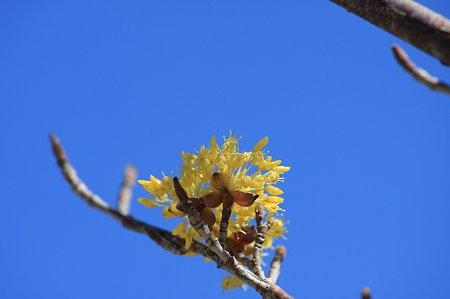 2011.03.18 和泉川  山茱萸