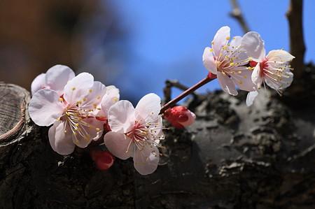 2011.03.19 大池公園 梅