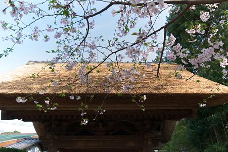 2011.04.10 極楽寺 山門とさくら