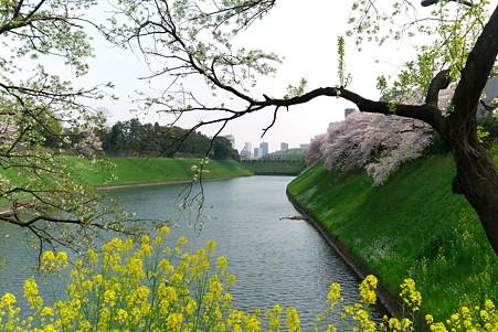 2011.04.11 皇居 半蔵壕 桜と菜の花