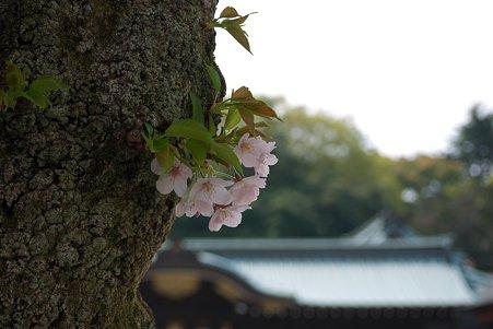 2011.04.11 靖国神社 さくら
