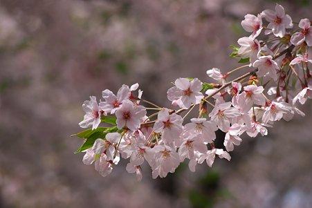 2011.04.11 靖国神社 桜