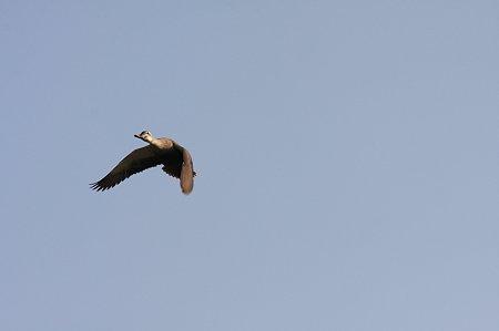 2011.04.27 和泉川 カルガモ 飛翔