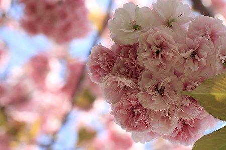 2011.04.29 和泉川 八重桜
