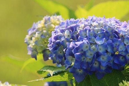 2011.06.06 和泉川 紫陽花