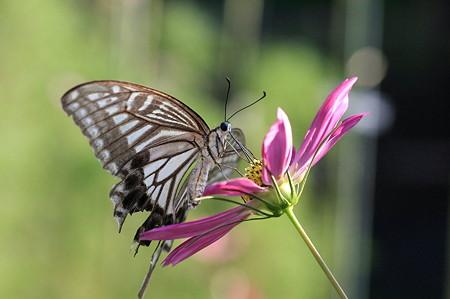 2011.08.15 和泉川 コスモスに色落ちしたアゲハチョウ