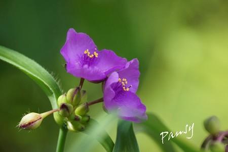 紫露草・・ 風待月の東慶寺・・4