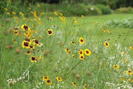 ハルシャギクと・・かすみ草の花畑で・・