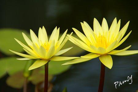 yellow.. 熱帯スイレン