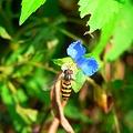写真: 露草と蜂・・・。