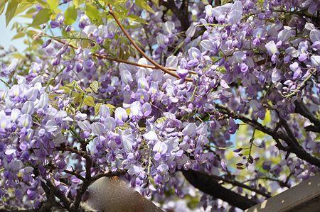 春日部の藤1