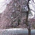 Photos: 神明社本殿前 枝垂れの梅