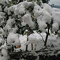 Photos: レモンの木