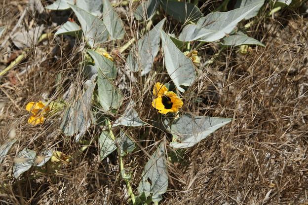 Photos: メロンの花