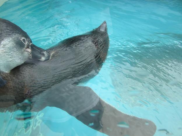 フンボルトペンギン (2)