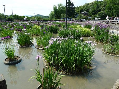 みやこ町豊津運動公園内の花菖蒲公園(2)