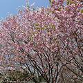 舞鶴公園の桜(5)ぼたん・しゃくやく園の松前桜