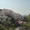 舞鶴公園の桜(14)