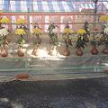 Photos: 菊花祭り