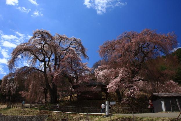 勝間のしだれ桜