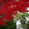 丹波 篠山 モミジ(2)