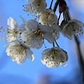 青空と桜(2) カラミザクラ