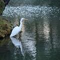 名園と白鷺  兼六園 霞が池