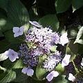 写真: 額紫陽花 1