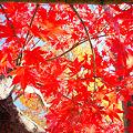 秋空に 脱ぎ散らかした 赤襦袢