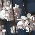 Photos: しだれ桜2