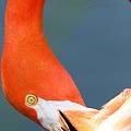 ヨーロッパフラミンゴ