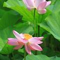 Photos: 夏の花もそろそろ