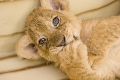3ヶ月の赤ちゃんライオン