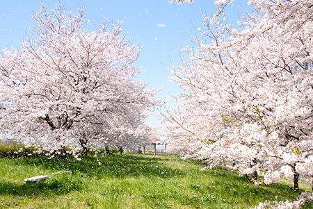 <入間川*桜吹雪 in 2009>