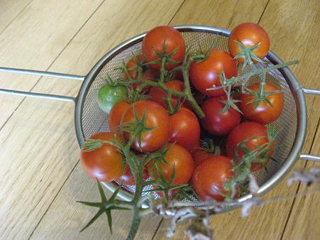 トマトが実りました