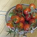 写真: トマトが実りました