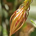 細長い花芽がふくらみ始める