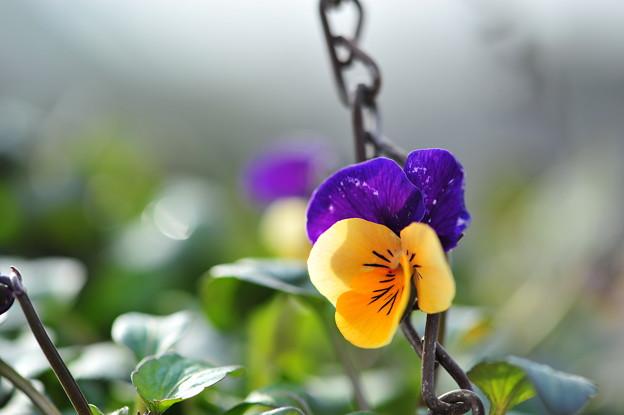 鉢植えのビオラ