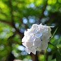 白の紫陽花 (2010年撮影