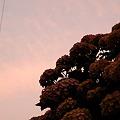 日暮れの紫陽花